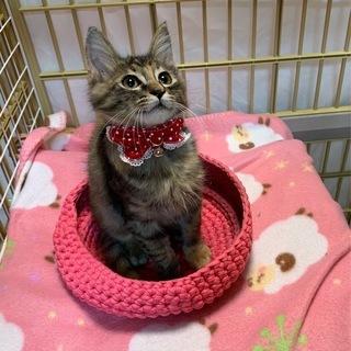 ソマリ猫風の美しい長毛子猫ちゃん!