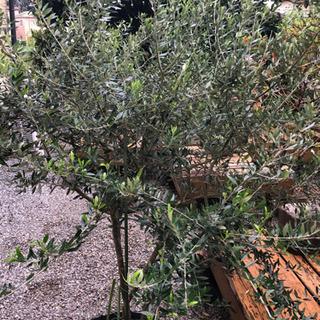 スペイン産 オリーブの木