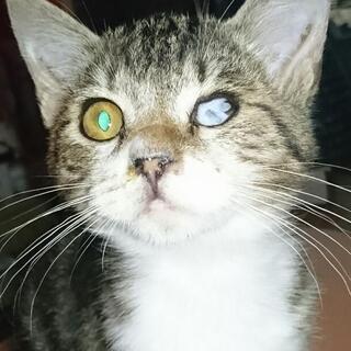 アメリカンショートヘアのミックス子猫♪里親さん募集!