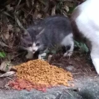 度会町の子猫 推定2ヶ月 女の子