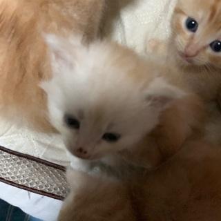 ※決まりそうです※野良猫が産んだ子猫 うす茶 生後1ヶ月 ②
