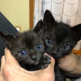 黒い子猫♀2匹里親様募集
