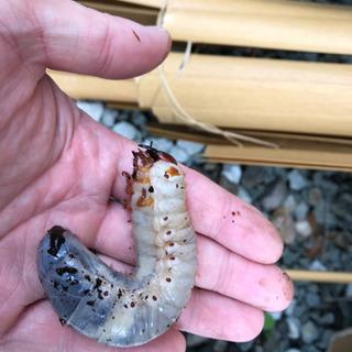 カブト虫の幼虫