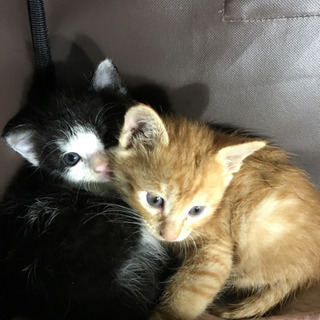 生後1ヶ月、2匹のオス猫ちゃん里親募集