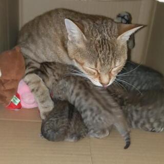 【キジトラ】3週齡4匹と成猫