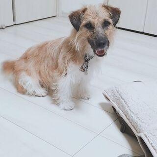 ジャックラッセルテリア2歳半の♂️のワンちゃんです! - 犬