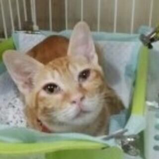 ☆子猫(茶トラメス)イブちゃん 4ヶ月くらい