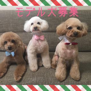 Dog atelier RUFY プードルorプードルmixモデ...