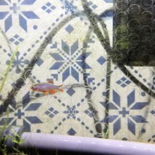 熱帯魚 オトシンクルス ミクロラスボラ