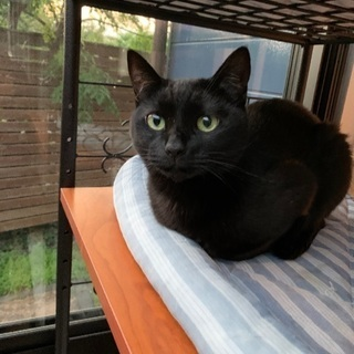 人懐こい、黒猫ちゃんです(只今、トライアル中です)