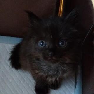 もふもふの可愛い長毛子猫(メス)の新しい家族募集