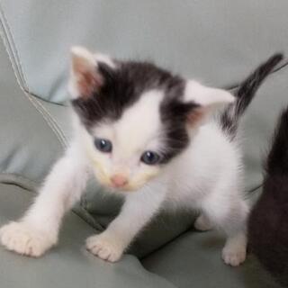 白黒子猫(仮名:コハク♂)の新しい家族募集中