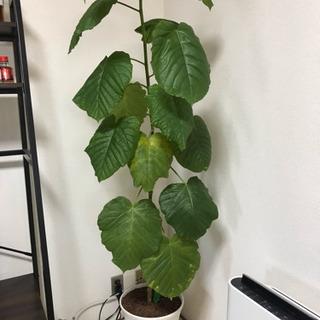 観葉植物 ウンベラータ 鉢付き
