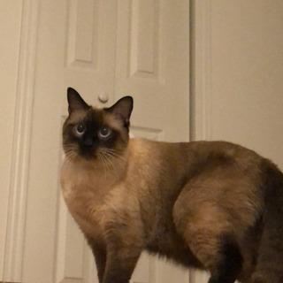 5月で3歳。オス シャム猫風 - 猫