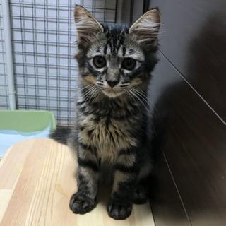 キジ半長毛女の子 - 猫