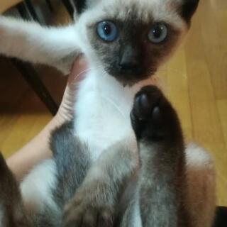 シャム猫 女の子 生後2~3ヶ月