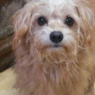ミックス犬(シュナウザー×チワワ)一歳半オス