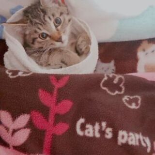子猫(2ヶ月くらい)メス 里親募集