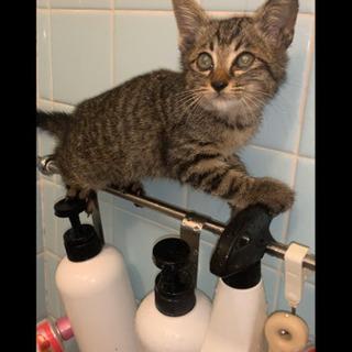 保護猫キジトラ2か月ぐらい?