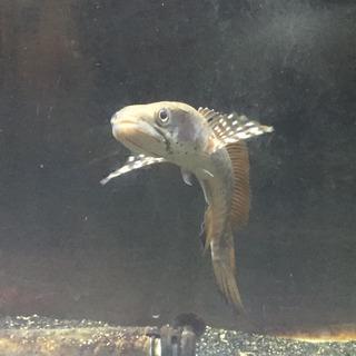 チャンナプルクラ 小型スネークヘッド 熱帯魚