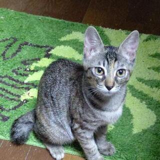11ヶ月キジトラ猫の倫ちゃん❤️