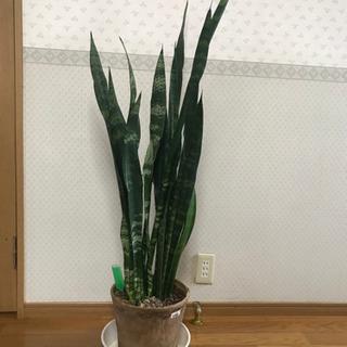 観葉植物 サンスベリアその2