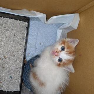 生後3週間の仔猫で、代理募集です。