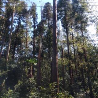 全て無料!国産 天然杉 幹周り1メートル以上有り 業者も大歓迎!