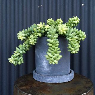多肉植物 ビアポップ 3.5号鉢