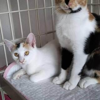 きれいな三毛猫ちゃんの姉妹。