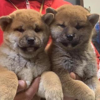日本一の柴犬を提供しています!