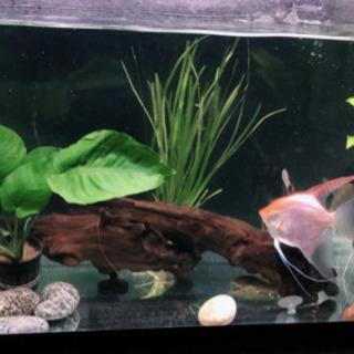 熱帯魚エンゼル