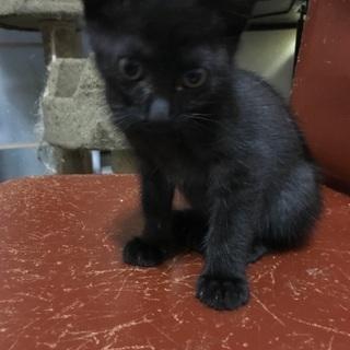 黒系虎柄?の男の子です。8月生まれの約2カ月半です。