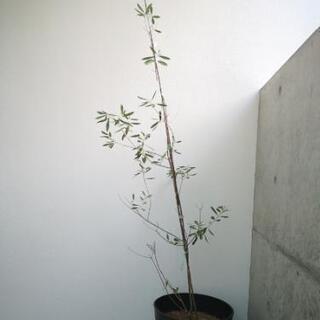 オリーブ苗木