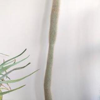白閃or吹雪柱 A 150cm(鉢底から)