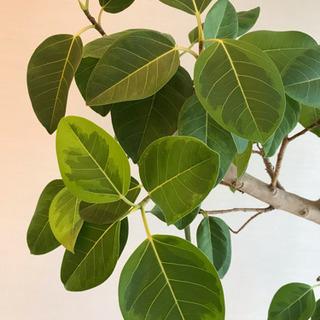 観葉植物 フィカス アルテシマ