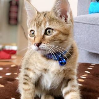 生後2ヶ月半ぐらいの子猫 - 猫