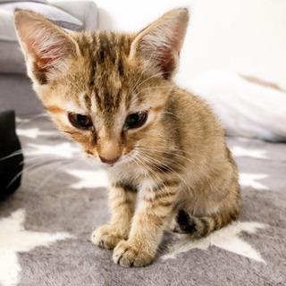 生後2ヶ月半ぐらいの子猫