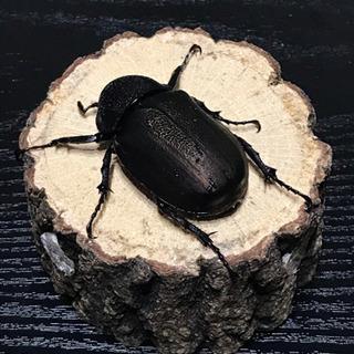 アトラスオオカブト・幼虫