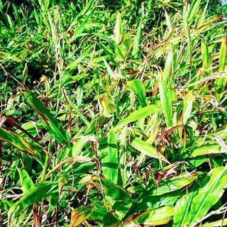 【完売御礼】植えっぱなしみょうが苗 日陰で栽培できます