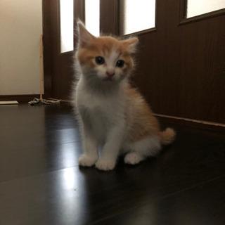 茶色×白色の子猫(オス)里親様探してます!