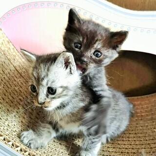 台風被害現場から保護したチビ猫兄妹 1.5ヶ月