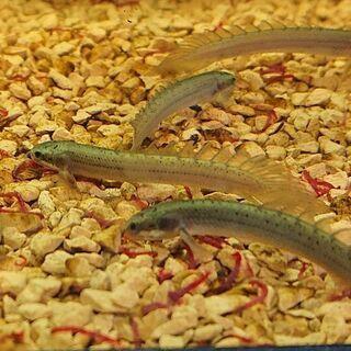 ポリプテルスセネガルス  (古代魚 アクアリウム 熱帯魚)