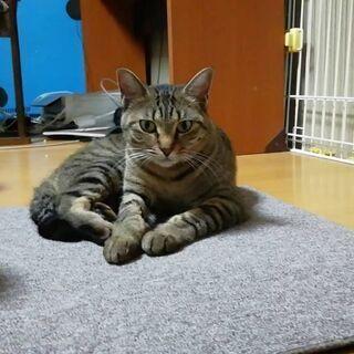 甘えん坊の美人猫。