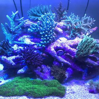 ミドリイシ、その他サンゴ