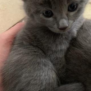 可愛いグレーの子猫姉妹の里親さん募集