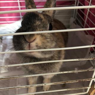 ミニウサギ 2才程度。小さめ。