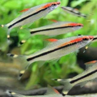 レッドライントーピードバルブほか(熱帯魚)