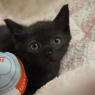 優しい性格黒猫里親募集です