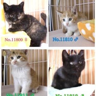 🆘保健所収容🐱子猫4兄妹🐱あと1匹だけになり寂しく家族を待っています【県外譲渡可】 - 里親募集